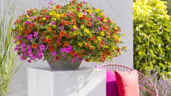 Småpetunia i mixade färger ger liv till uteplatsen. Foto: Hörnhems