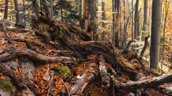 En gruppe forskere fandt tilfældigvis en stub uden løv, som fik vand og andre ressourcer fra de omkringstående træer. De dannede derved en form for superorganisme.