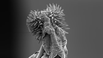 Hanens parningsorgan hos fröbaggen Callosobruchus maculatus är försett med taggar som ökar hans fortplantningsframgång. Foto: Johanna Rönn