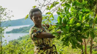 Sjunkande kaffepris i världen ett hot mot kvinnliga kaffeodlare