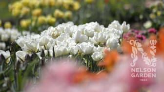 Gräv ner vårens buketter redan i höst – Höstlöksnyheter 2021 från Nelson Garden