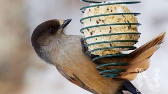 Hjälp fåglarna med mat i vinter – Fågelmatsnyheter 2020 från Nelson Garden