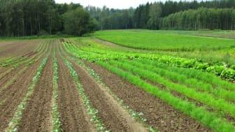 Genrebild: Ekologisk grönsaksodling. Foto: Johan Ascard