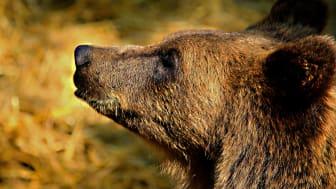 Länsstyrelsen har beslutat att de överskjutna björnarna inte ska räknas bort från tilldelningen i övriga jaktområden. Foto: Roland Levander
