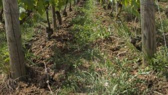 Verzenay vineyard.jpg