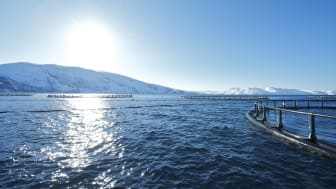 Growth in exports of Norwegian salmon in August