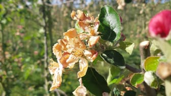 Frostskadad äppelblomma