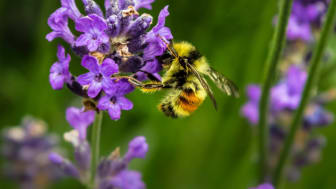 EXPERT COMMENT: Why urban gardens are crucial for conserving bees and butterflies – and how you can help them