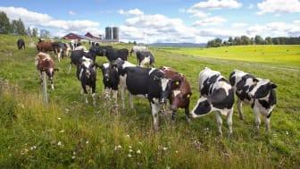 Lokalproducerade produkter som bidrar till en levande landsbygd, öppna landskap och sysselsättning tycker flest tillfrågade att Norrmejerier är mycket bra på när man ger sin syn på hur varumärket tar sitt hållbarhetsansvar.