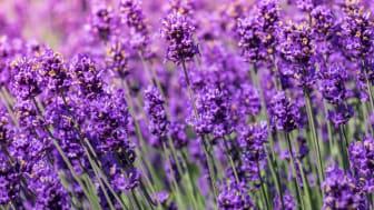Sieht nicht nur schön aus, sondern beruhigt die Haut: Lavendel. Pattanasak Suksri | Adobe Stock: 121662200