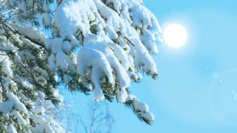 Vintertall i solsken. Foto: Stefan Jansson och Pushan Bag