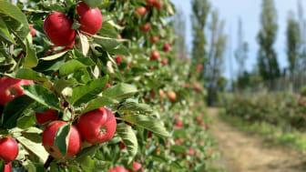 Äppelskörden påskyndas och väntas bli intensiv
