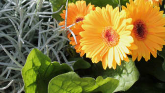 Dags för mustiga sensommarplanteringar