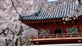 Make Many Cute Memories of your Trip Visit Koedo-Kawagoe in Spring to Enjoy the Cherry Blossom Festival and Sweet Potatoes