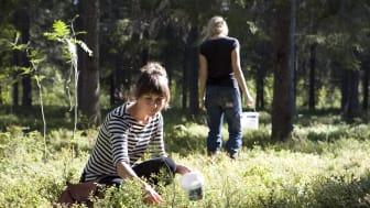 Forskarlaget studerar sex olika ekosystemstjänster i skog, däribland förekomst av blåbär. BildElin Berge