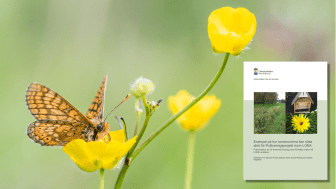I rapporten kan kommuner och initiativtagare hämta idéer och stöd i LONA-ansökan till projekt som gynnar pollinatörer. Fjärilen på bilden är en väddnätfjäril (foto: Daniel Segerlind).