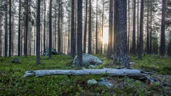 """Omslagsfoto till """"Skogsdata 2020"""". Foto: Anton Larsson, SLU"""