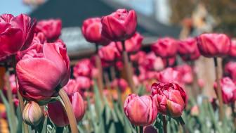 Over 100.000 forårsblomster vil pryde Tivoli Friheden til maj