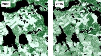 Rasterkarta över trädens totala volym (m3sk/ha) i SLU Skogskarta 2000 respektive 2015. Hög totalvolym representeras av mörkare grön och ljusare nyanser visar lägre volymer. Bild Mikael Egberth, SLU