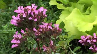 De mjuka färgtonerna hos 'Herrenhausen' gör sorten fin att kombinera med många andra växter.