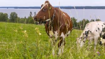Norrland har mycket bra förutsättningar för mjölkproduktion av hög kvalitet. Genom att samverka och dela kunskap med forskare och andra aktörer i livsmedelskedjan kan vi använda de unika resurser vi har på ett ännu mer hållbart sätt.