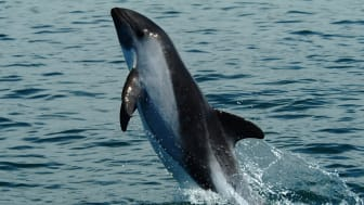 Gefährdeter Schweinswal (Foto: Vaquita IUCN SSC - Cetacean Specialist Group)