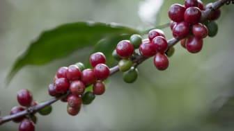Kaffebär på kvist från en Fairtrade-odling. Foto: Thom Alva