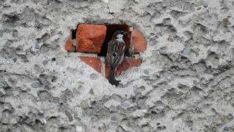 Gråsparv är en av de arter som använder hål i byggnader för att bygga bo. Foto: Marta Świtała