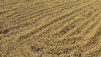 Soltorkning av Castillo kaffebönor