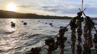 48 miljoner till utveckling av hållbar sjömat