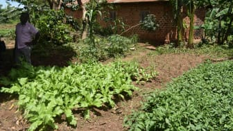 Agroekologiskt jordbruk i Uganda. Foto The Hunger Project