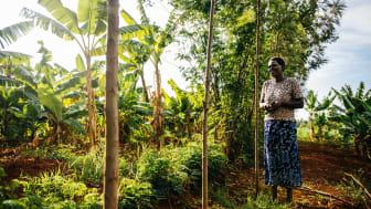 Benta Muga i Kenya använder agroforestry på sin gård och planterar grödor tillsamman med träd. Foto: Amunga Eschuchi, Vi-skogen