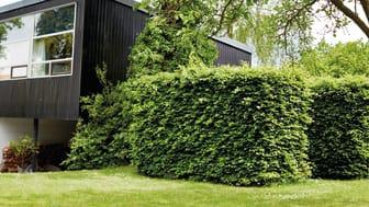 Bøgehækken er en klassiker i de danske haver
