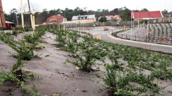 Plantering vid Furulund station - plantor