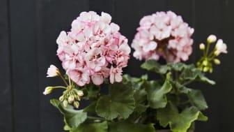 Årets Pelargon 2018 heter zonalpelargon, Pelargonium x hortorum 'Picotee Pink'. Foto. Lina Arvidsson