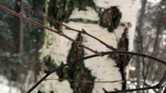 Björkknoppar i vintervila. Foto: David Stephansson