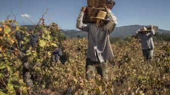 La Causa País 2020 - intensiv smak av strävsam druva