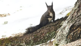 Eichhörnchen in Arosa (c) ST Partnerbild