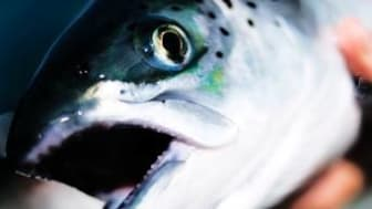 Farmed salmon prices near double last year's levels