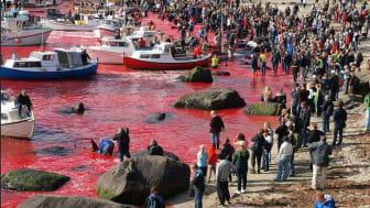 Walmassaker in Sichtnähe des Anlandungshafens von TUI Cruises mit Mein Schiff in der Inselhauptstadt Torshavn