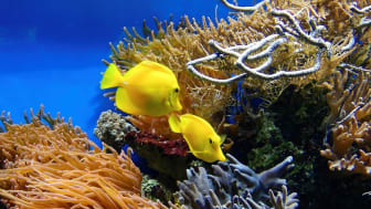 Bland de studerade samhällena finns korallrev. Foto: Bruno Glätsch