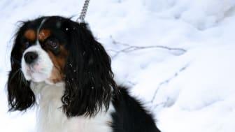 Skellefteås nya hundpromenad i elljus är klar