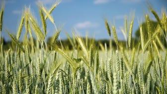 Årets varma sommar med ansträngd vattentillgång har varit svår för jordbruket. I framtiden skulle återanvändning av renat avloppsvatten kunna vara en lösning. VA SYD undersöker möjligheterna.
