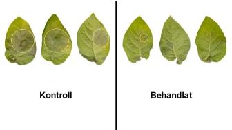 Angrepp (inringade) av bladmögel på potatisblad som är obehandlade (till vänster) respektive behandlade med sprut-inducerad gensläckningsteknik (till höger). Foto: Poorva Sundararajan