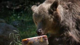 Björnhanen Glok svalkar sig med en speciell björnglass: frukt, bär och andra godsaker fryses ned och blir ett perfekt mellanmål i värmen.