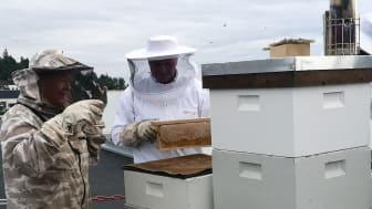 Høsting av honning hos Norconsult i Sandvika_Bente Gjerstad og Bård S Hernes_foto Norconsult.jpg