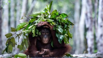 En orangutang bygger ett paraply mot regnet. Ett effektivt och intelligent beteende som kan förklaras med hjälp av ny forskning från Stockholms universitet och Brooklyn College. Foto: Johan Lind/N.