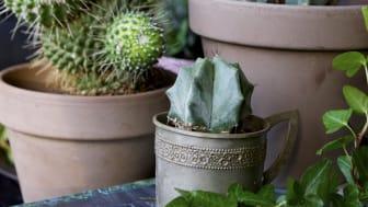 Kaktusen trendig även utomhus