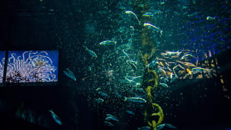 Sill-strömming, (Clupea harengus) får mat i akvarium på BSSC, Skansen. Foto: Mark Harris för SLU