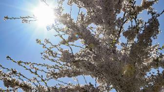 Helsingborgshem planterar 20 träd som tack till miljömedvetna hyresgäster.